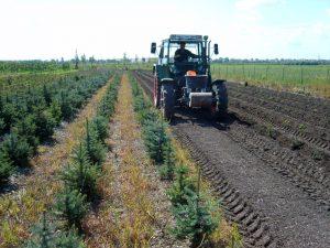 Neupflanzung der Christbäume