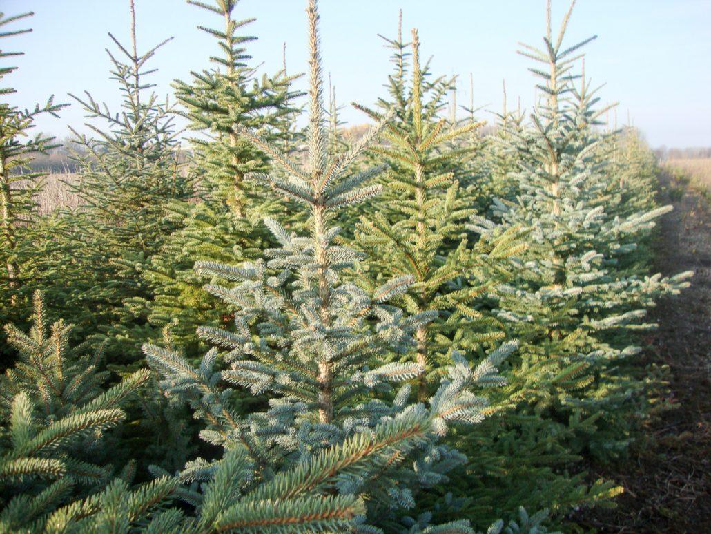 Holzerhof Christbäume Weihnachtsbäume