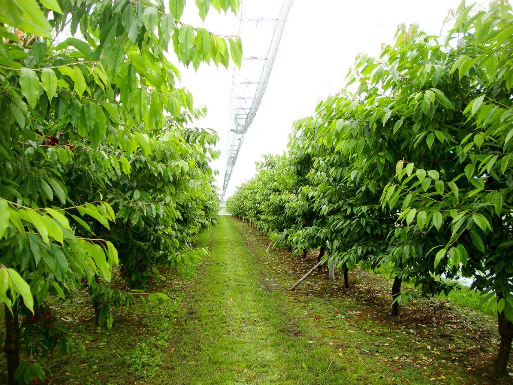 Regenschutzdach Kirschenanlage