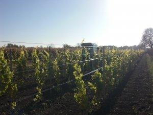 Weinanbau am Holzerhof